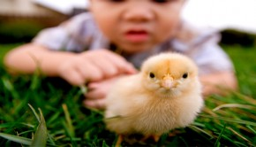 organik-tavuk-yetistiriciligi