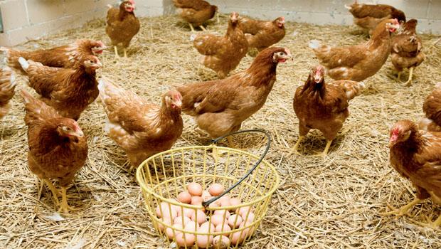 yumurta-uretim-ciftligi