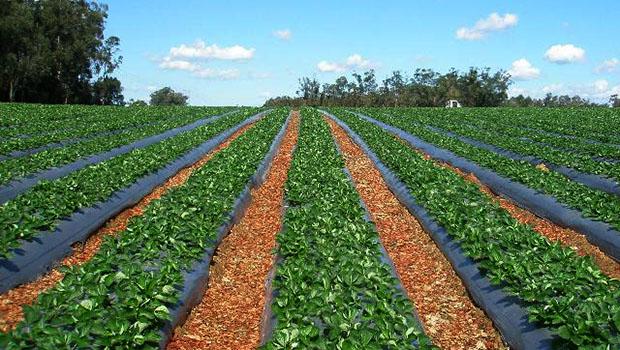 Çilek Yetiştiriciliği Nasıl Yapılır? | Yeni İş Fikirleri