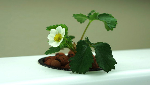 İlkbaharda çilek nasıl ekilir Çilek için dikim düzeni. Çilek bitki nereye