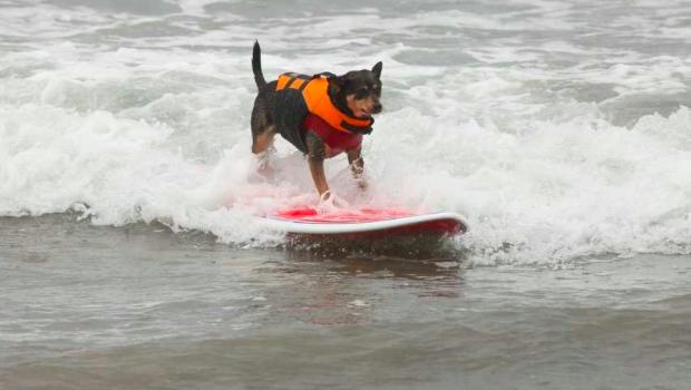 Köpeklere Sörf Eğiticiliği Mesleği