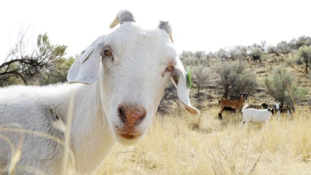8-we-rent-goats